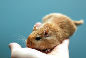 30 Interesting And Weird Facts About Gerbils - Tons Of Facts