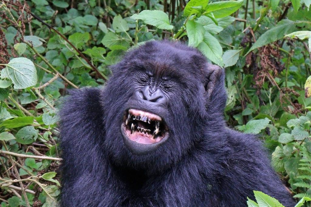 Gorilla face to face sex