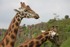 25 Interesting And Weird Facts About Giraffes - Tons Of Facts