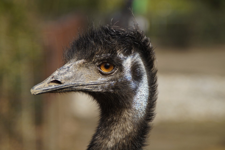 86d2537420 26 Fun And Interesting Facts About Emus - Tons Of Facts