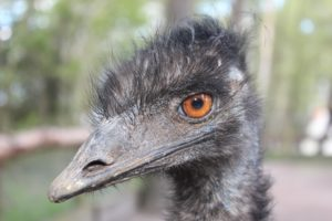 96c103c0e8 Female emus will lay 5 to 15 avocado green eggs over several days. When  they're finished, the female will go off, leaving the male to incubate the  eggs.