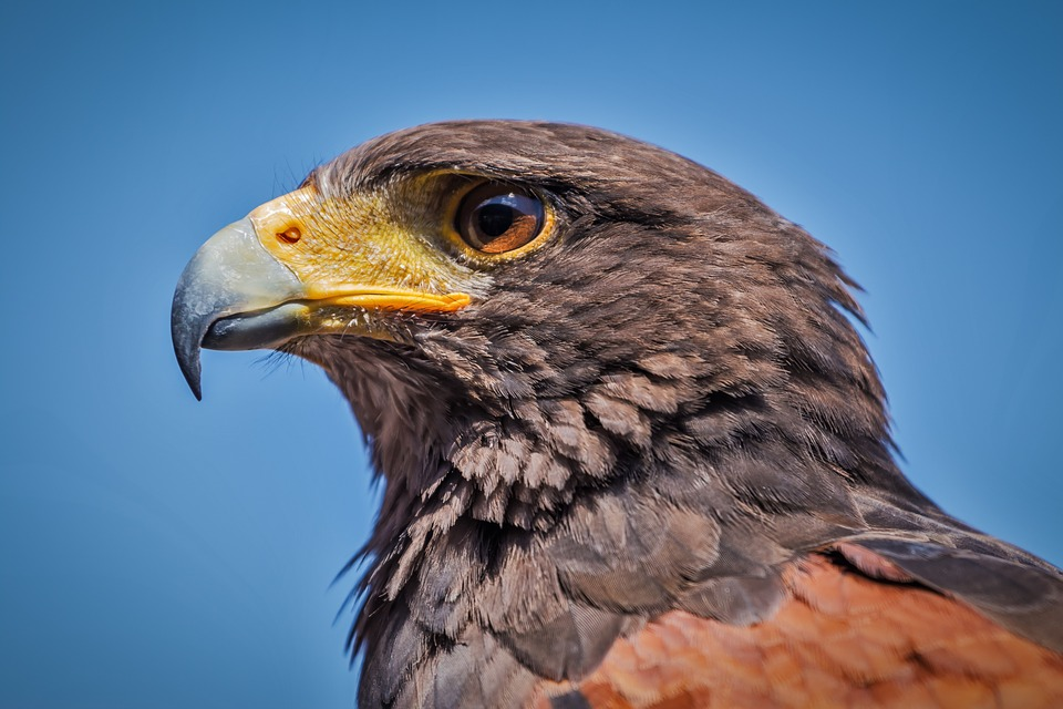 28 Fun And Weird Facts About Hawks Tons Of Facts
