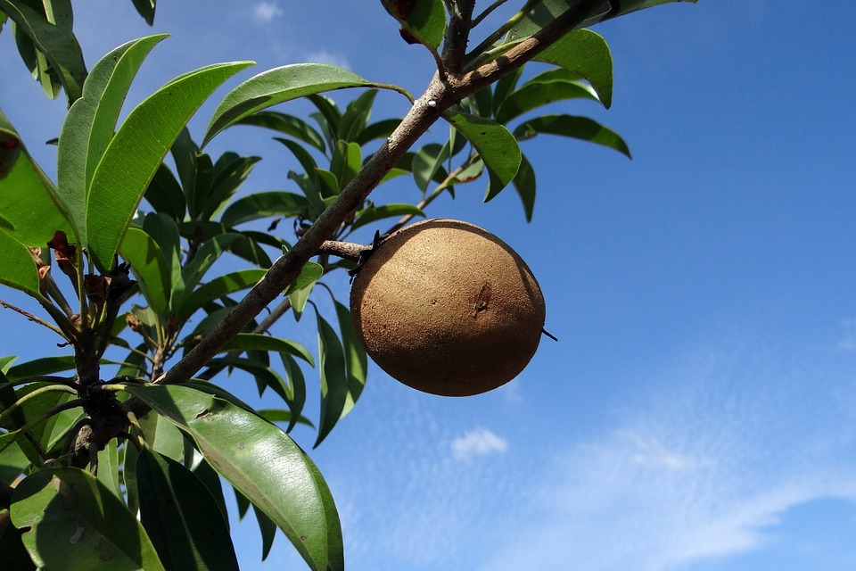 23 interesting and fascinating facts about sapodilla tons of facts
